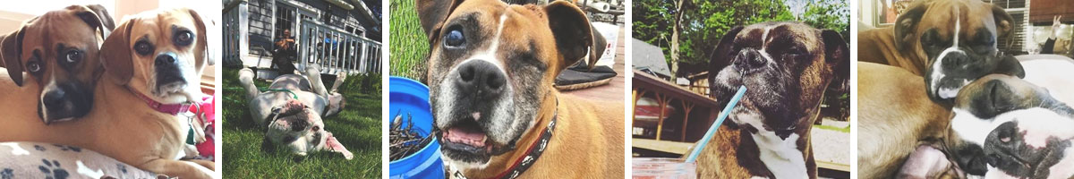 american-boxer-dog-rescue-Angels_Pet_World_Banner